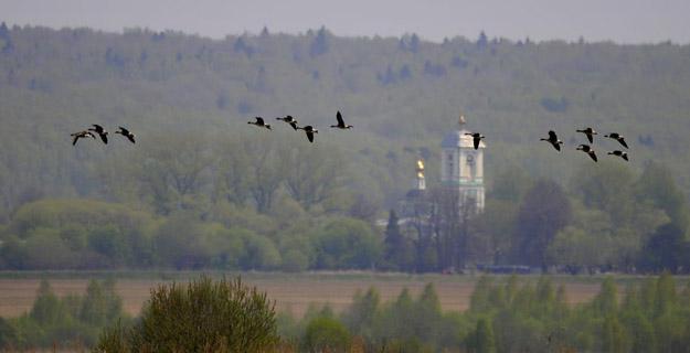 Белолобые гуси (Anser albifrons) в пойме р. Дубны. Май 2021 г. Фото В.Ю.Ермаковой