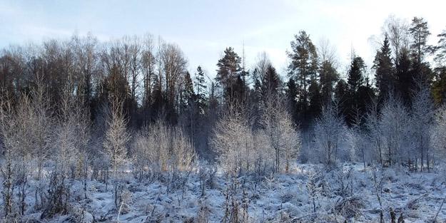 Местообитание рыси. Северное Подмосковье. Фото О.С.Гринченко